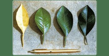 Carencia de nutrientes Nitrogeno